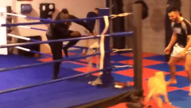 Video: Mario Balotelli exhibits his evasive skills after being chased around a boxing-ring by a dog